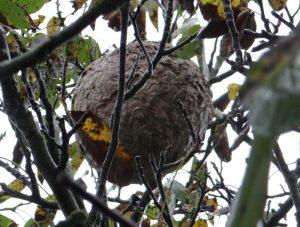 frelon nid arbre